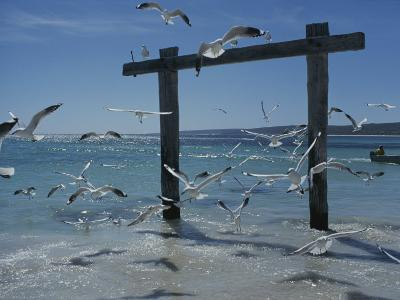 Sea Gulls Hover over Surf Around a Piling-Sam Abell-Photographic Print