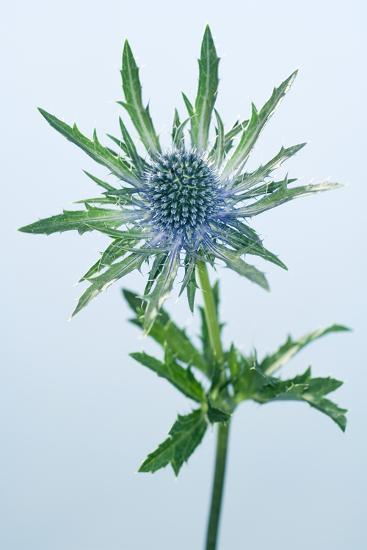 Sea Holly (Eryngium Sp.)-Lawrence Lawry-Photographic Print