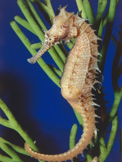 Sea Horse Sits by Itself-Jeff Foott-Photographic Print