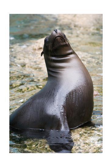 Sea Lion Perching-Lantern Press-Art Print