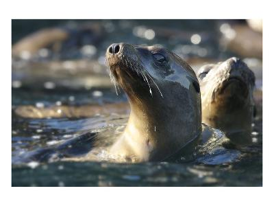 Sea Lion Swim-Steve Munch-Art Print