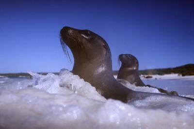 Sea Lions amidst Surf-DLILLC-Photographic Print