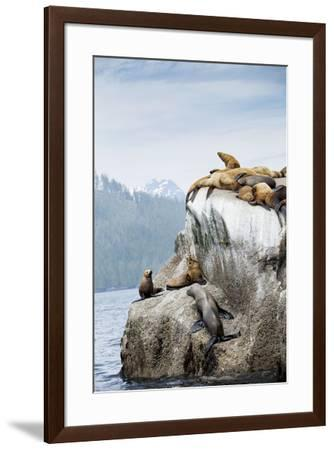 Sea lions lounge on a rock in British Columbia's Great Bear Rainforest.-Anne Farrar-Framed Photographic Print