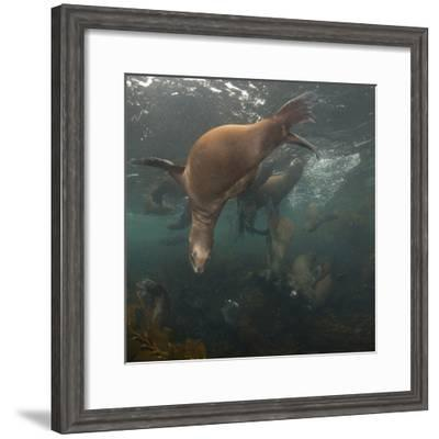 Sea Lions Swim in a Bed of Kelp Off Santa Barbara Island-Cesare Naldi-Framed Photographic Print