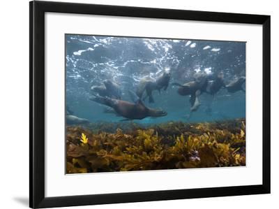 Sea Lions Swim in a Bed of Kelp Off Santa Barbara Island-Cesare Naldi-Framed Photographic Print