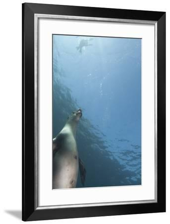 Sea Lions Swim Off Santa Barbara Island-Cesare Naldi-Framed Photographic Print
