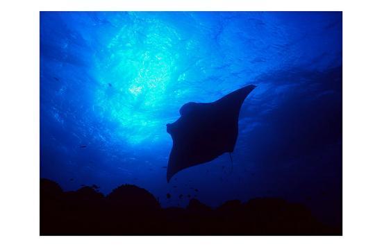 Sea Manta Burst-Charles Glover-Giclee Print