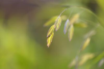 Sea Oats Grass-Cora Niele-Photographic Print