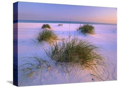 Sea Oats growing on beach, Santa Rosa Island, Gulf Islands National Seashore, Florida-Tim Fitzharris-Stretched Canvas Print