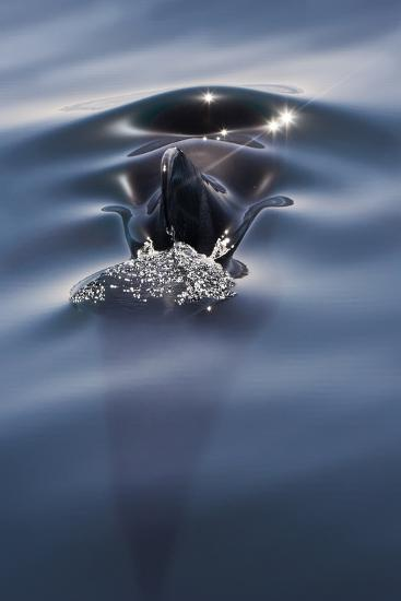 Sea of Cortez, Baja, Mexico. a Short-Finned Pilot Whale Surfaces-Janet Muir-Photographic Print
