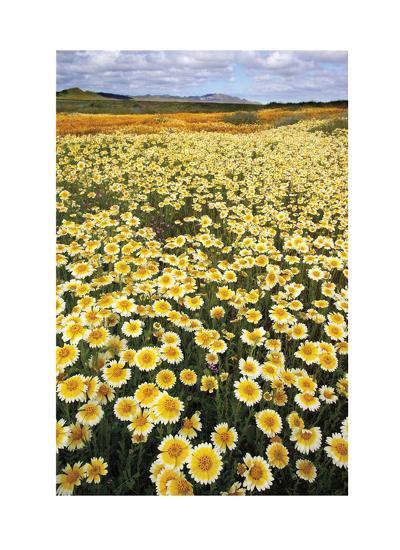Sea of Flowers I-Donald Paulson-Giclee Print