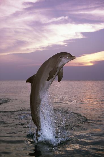 Sea, Ordinary Dolphin, Delphinus Delphis, Jump, Twilight, Series, Waters, Wildlife, Animal, Mammal-Frank Lukasseck-Photographic Print