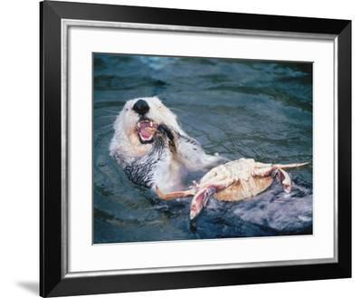 Sea Otter Eating a Crab-Jeff Foott-Framed Photographic Print