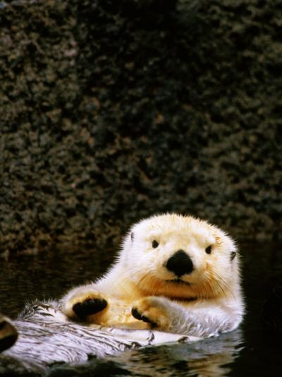 Sea Otter Floating on Its Back, Point Defiance Zoo, Tacoma, Washington-Mark Newman-Photographic Print