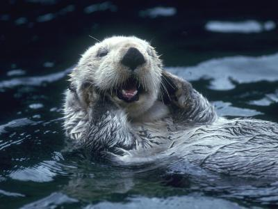 Sea Otter Floats on Back with its Paws on Face and Mouth Open-Jeff Foott-Photographic Print