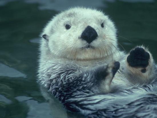 Sea Otter Floats on Back with its Paws Raised Up Out of the Water-Jeff Foott-Photographic Print