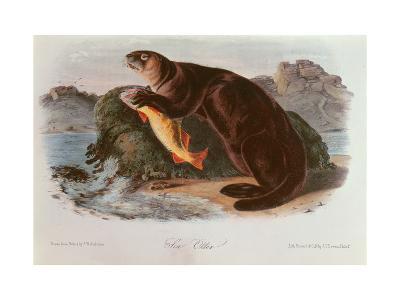 Sea Otter from Quadrupeds of North America (1842-5)-John James Audubon-Giclee Print