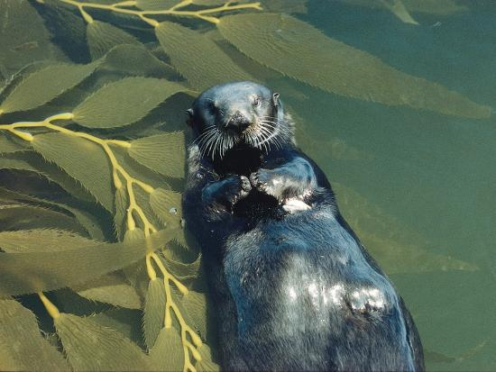 Sea Otter Lays on Back in Water with Clam on Chest, Surrounded by Kelp-Jeff Foott-Photographic Print