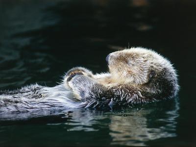 Sea otter sleeps while floating on back-Jeff Foott-Photographic Print