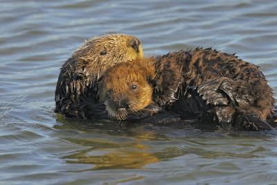 """Sea Otters Mother with Young Pup with """"Natal Pelage""""--Photographic Print"""