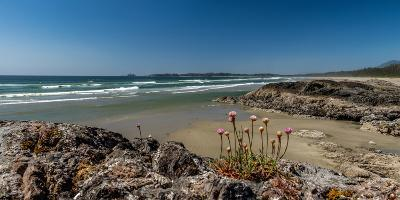 Sea pink (Armeria maritima) wildflowers on Long Beach, Pacific Rim National Park Reserve, Vancou...--Photographic Print