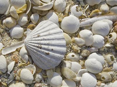 Sea Shells, Hebrides, Scotland, United Kingdom, Europe-Mark Harding-Photographic Print