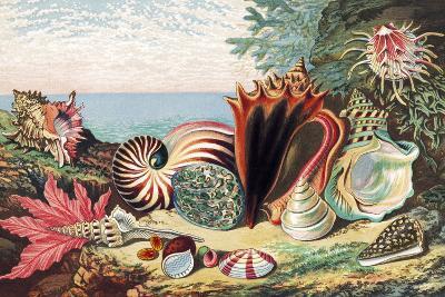 Sea Shells-Sheila Terry-Photographic Print