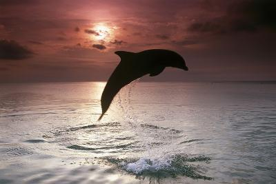 Sea, Silhouette, Ordinary Dolphin, Delphinus Delphis, Jump-Frank Lukasseck-Photographic Print