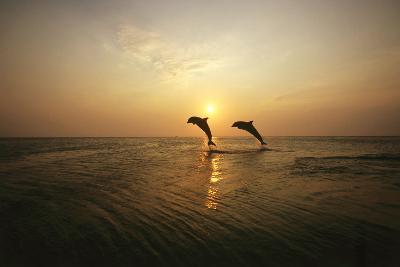 Sea, Silhouette, Ordinary Dolphins, Delphinus Delphis, Jump-Frank Lukasseck-Photographic Print