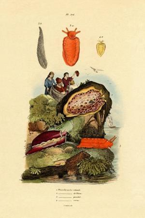 Sea Slugs, 1833-39