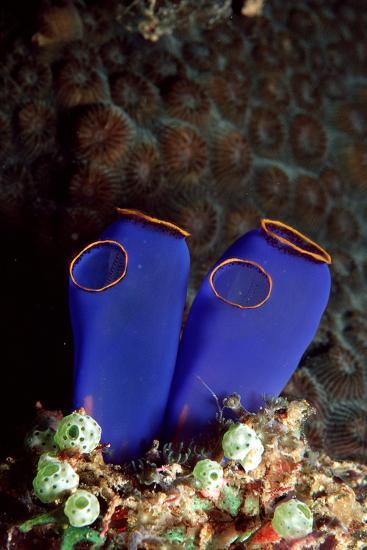 Sea Squirt Tunicates (Ascidia), Pacific Ocean, Panglao Island.-Reinhard Dirscherl-Photographic Print