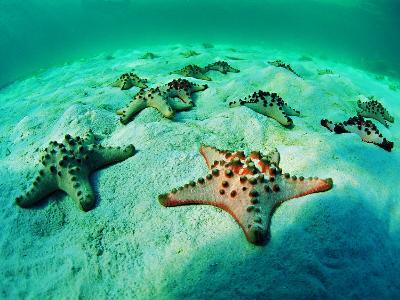 Sea Stars (Protoreaster Nodosus)-Andrea Ferrari-Photographic Print
