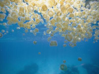 Sea Thimble Jellyfish-Bill Curtsinger-Photographic Print