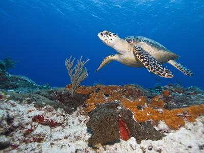 Sea Turtle (Chelonioidea), Cozumel, Mexico, Caribbean, North America-Antonio Busiello-Photographic Print