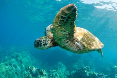 Sea Turtle Fly-M Sweet-Photographic Print