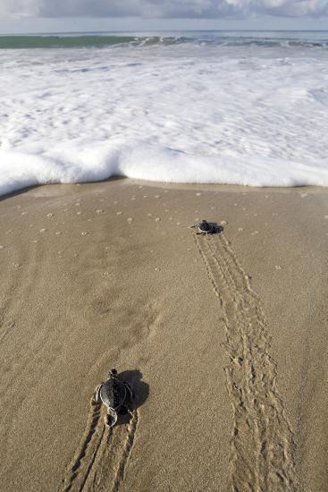 Sea Turtle Hatchlings Make their Way to the Sea-Adi Weda-Photographic Print