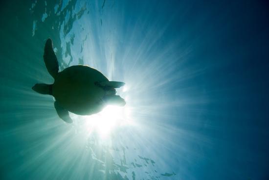 Sea Turtle-M.M. Sweet-Photographic Print