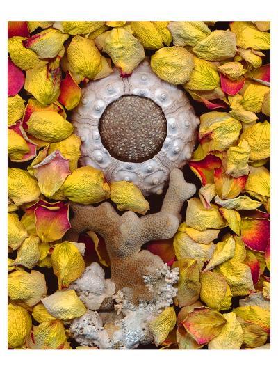 Sea Urchin rose Petals--Art Print