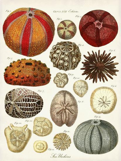 Sea Urchins-Coastal Print & Design-Art Print