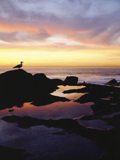 Seagull at Sunset Cliffs Tidepools on the Pacific Ocean, San Diego, California, USA-Christopher Talbot Frank-Photographic Print