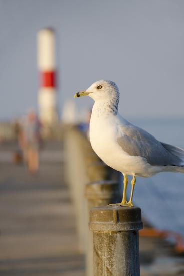 Seagull at the Lake Ontario Pier, Rochester, New York, USA-Cindy Miller Hopkins-Photographic Print