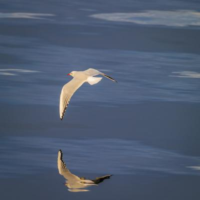 Seagull Flying over the Sea-Arctic-Images-Photographic Print