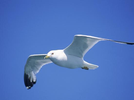 Seagull in Sky-Jim Schwabel-Photographic Print