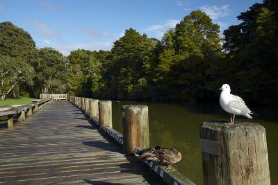 Seagull on Boardwalk by Mahurangi River, Warkworth, Auckland Region, North Island, New Zealand-David Wall-Photographic Print
