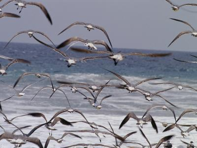 Seagulls Fly over Surf-Raul Touzon-Photographic Print