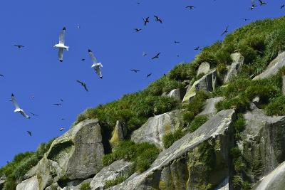 Seagulls Fly over Yankicha Island in the Sea of Okhotsk-Raul Touzon-Photographic Print