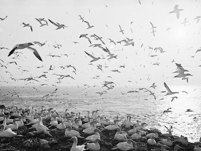 Seagulls Nesting--Photographic Print
