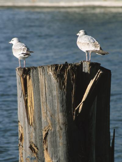 Seagulls on Wet and Rickety Submerged Wooden Posts--Photographic Print