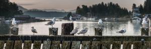 Seagulls on wharf at marina, Tofino, Vancouver Island, British Columbia, Canada