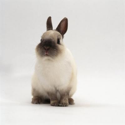 Seal-Point Netherland Dwarf Male Rabbit-Jane Burton-Photographic Print